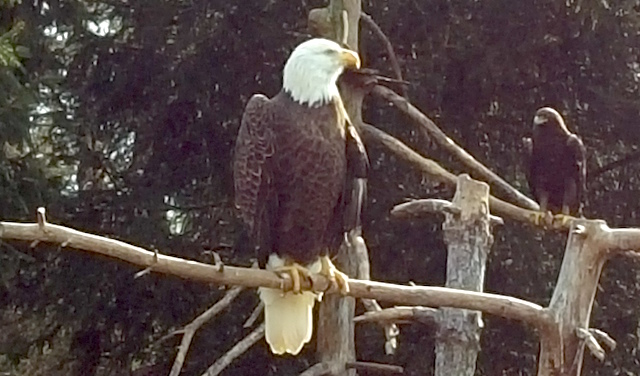 Bald Eagles in Elmwood Park Zoo